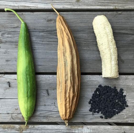 Cómo Cultivar Tu Esponja Vegetal Tips De Reciclaje